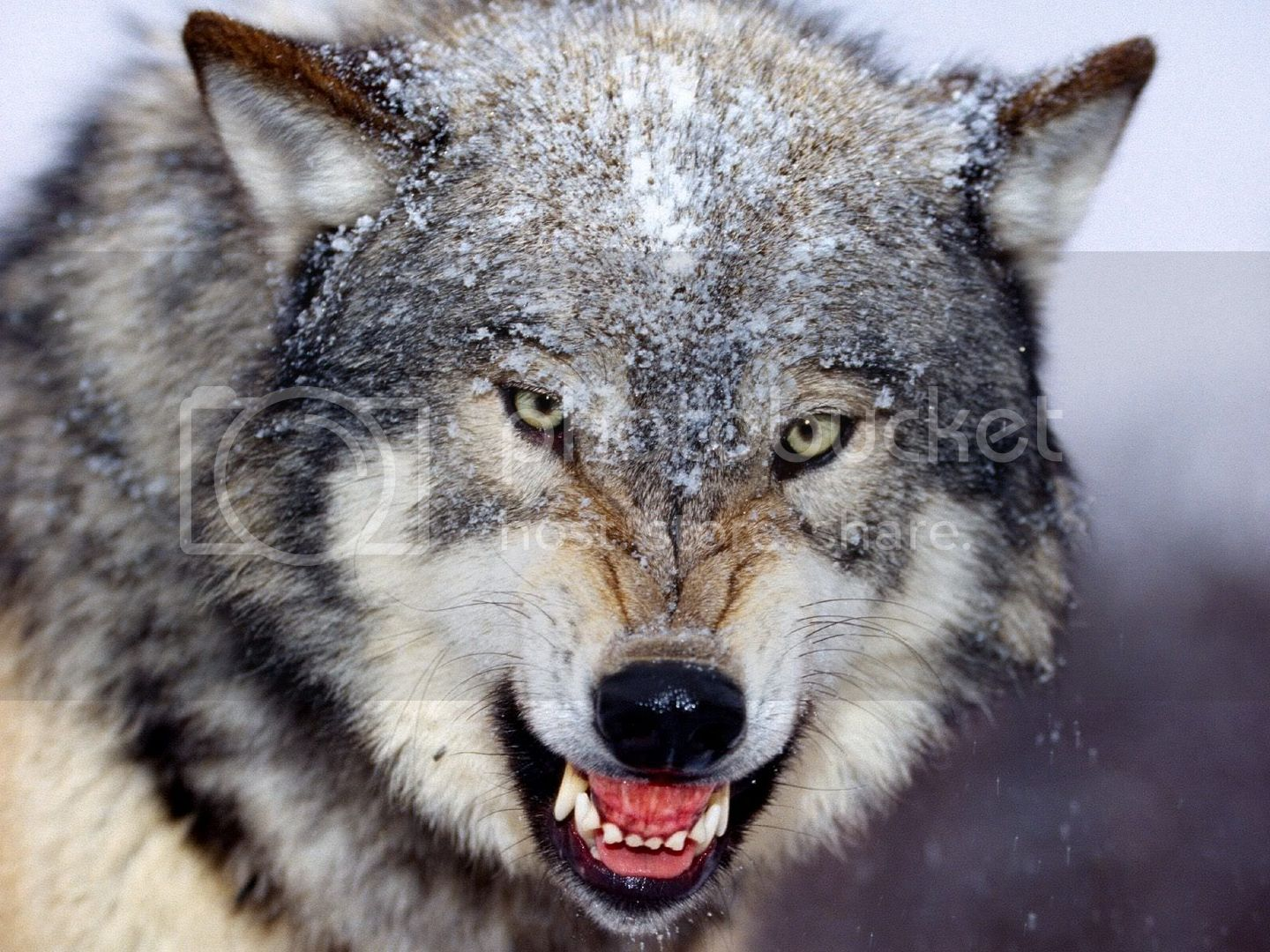 angry wolf wallpaper 1600 x 1200 high resolution